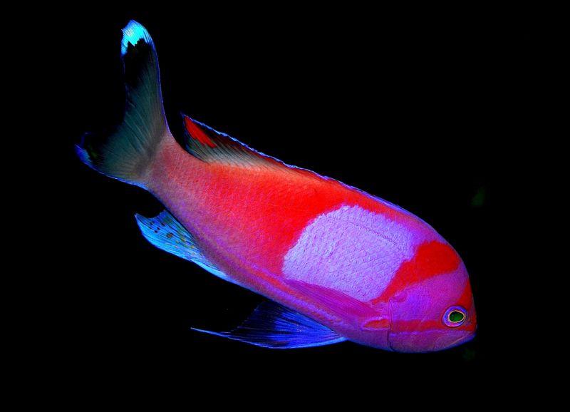 Fish index squareback anthias pseudanthias pleurotaenia for Pink saltwater fish