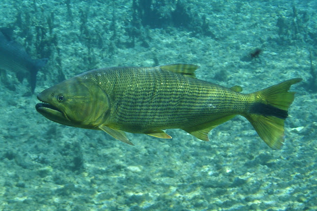 Fish index golden dorado salminus brasiliensis for Golden dorado fish