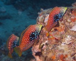 Blue Star Leopard Wrasse