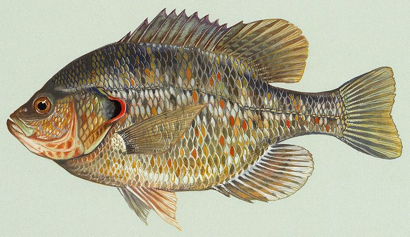 Fish Index: Redear Sunfish (Lepomis microlophus)