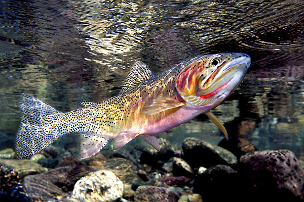 Fish index cutthroat trout oncorhynchus clarkii for Trout fishing in kansas
