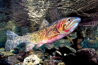 Cutthroat Trout Oncorhynchus Clarkii on oscar cichlid with fry