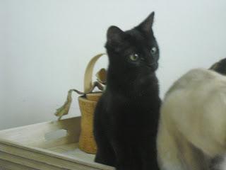 Siva gatita negra soy un gato