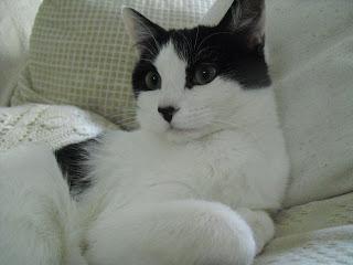 Gatos en adopci�n (Enero 2011)