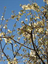 Vårt körsbärsträd