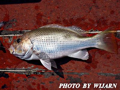 ปลาอังเกย