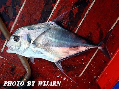 ปลาโฉมงาม