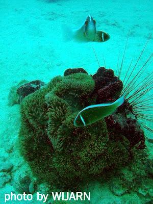 ปลาการ์ตูนอินเดียร์แดงกับดอกไม้ทะเล