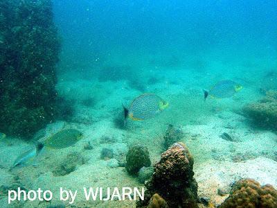 ปลาสลิดหินชวา