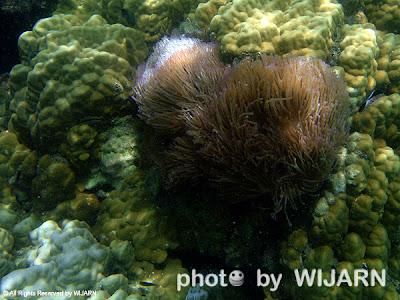 ดอกไม้ทะเล - Sea Anemone