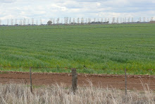 Flood irrigated rice on the Hay Plains where water is drawn from the Murrumbidgee Sept 2008
