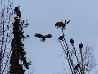 eagle colonize a village