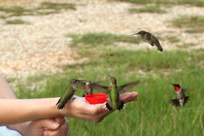 tame hummingbirds at woman's hand