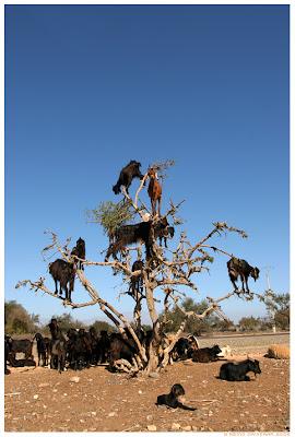 climbing tree goats. climber goat