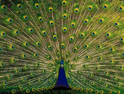 people around the world have their own perception and believe about the peacock and its feather