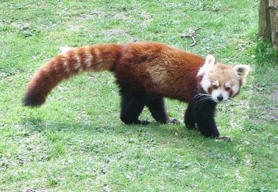 it like combination of panda, fox, cat, bear