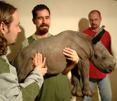 rhino specialist group hold new born rhino