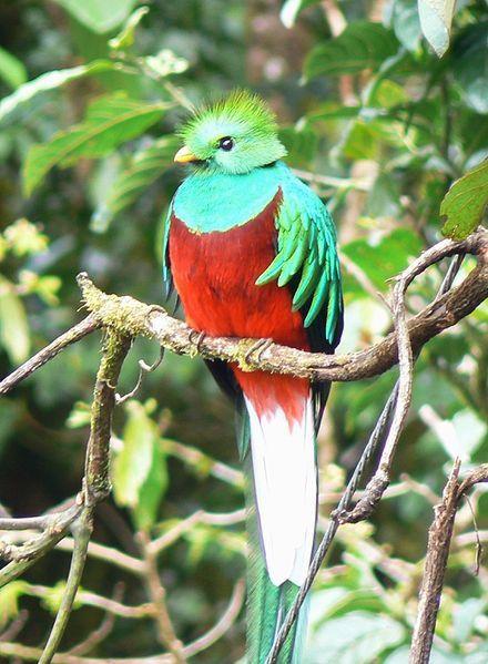 Περίλαμπρος quetzal αυτό το πουλί βρ