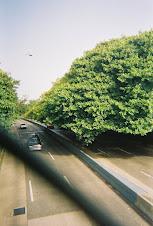 Ficus lef side