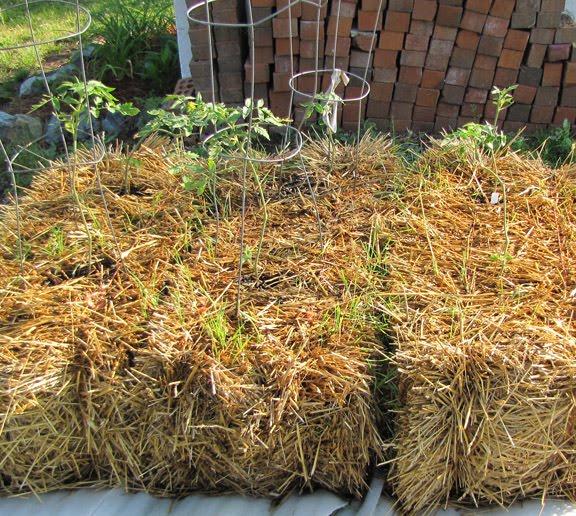 growing plants in hay bales Tomatoes+in+straw+bales.jpg