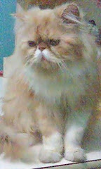 Bombom, our persian cat too..