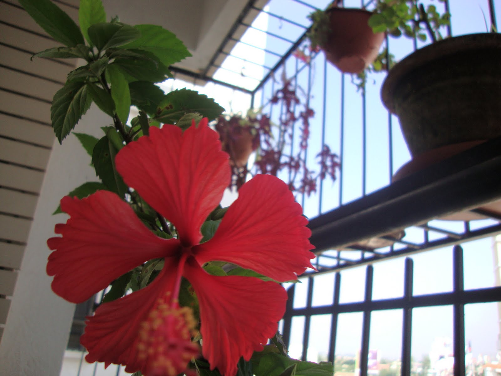 My balcony garden hibiscus experience part 1 some tips on maintaining the hibiscus they need to be watered and fertilized regularly two spoonfuls of organic fertilizer and bone meal every fortnight izmirmasajfo