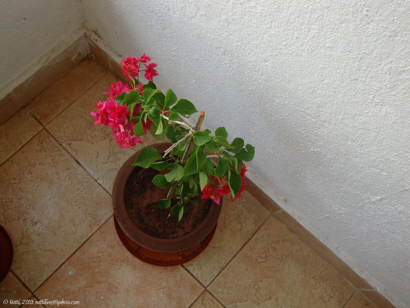 My Balcony Garden Bougainvillea Let Me Grow