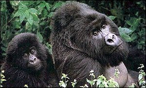 La cuentista de la barcelona gorilas en la niebla for Gorilas en la niebla