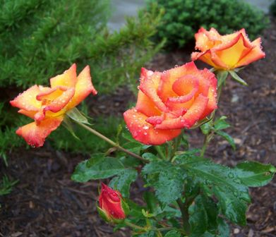 orange roses in my courtyard