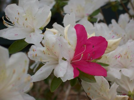 white azalea with a streak of pink