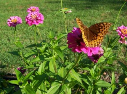 Great Spangled Fritillary on zinnia