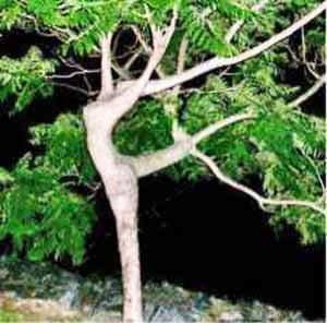 dancingtree.jpg