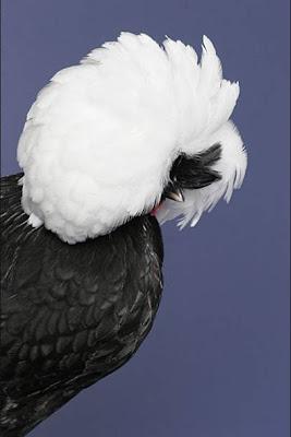 goodlookingchicks02ms5 Koleksi Gambar Ayam Tercantik Dunia