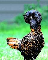 goodlookingchicks05wi6 Koleksi Gambar Ayam Tercantik Dunia