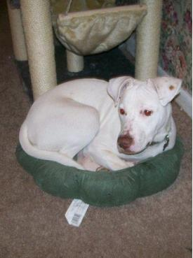 ... TX: Spazz the young wonderful male Great Dane/Pitbull needs new home