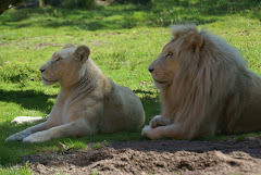 TIMBA & NYALA LES LIONS BLANCS