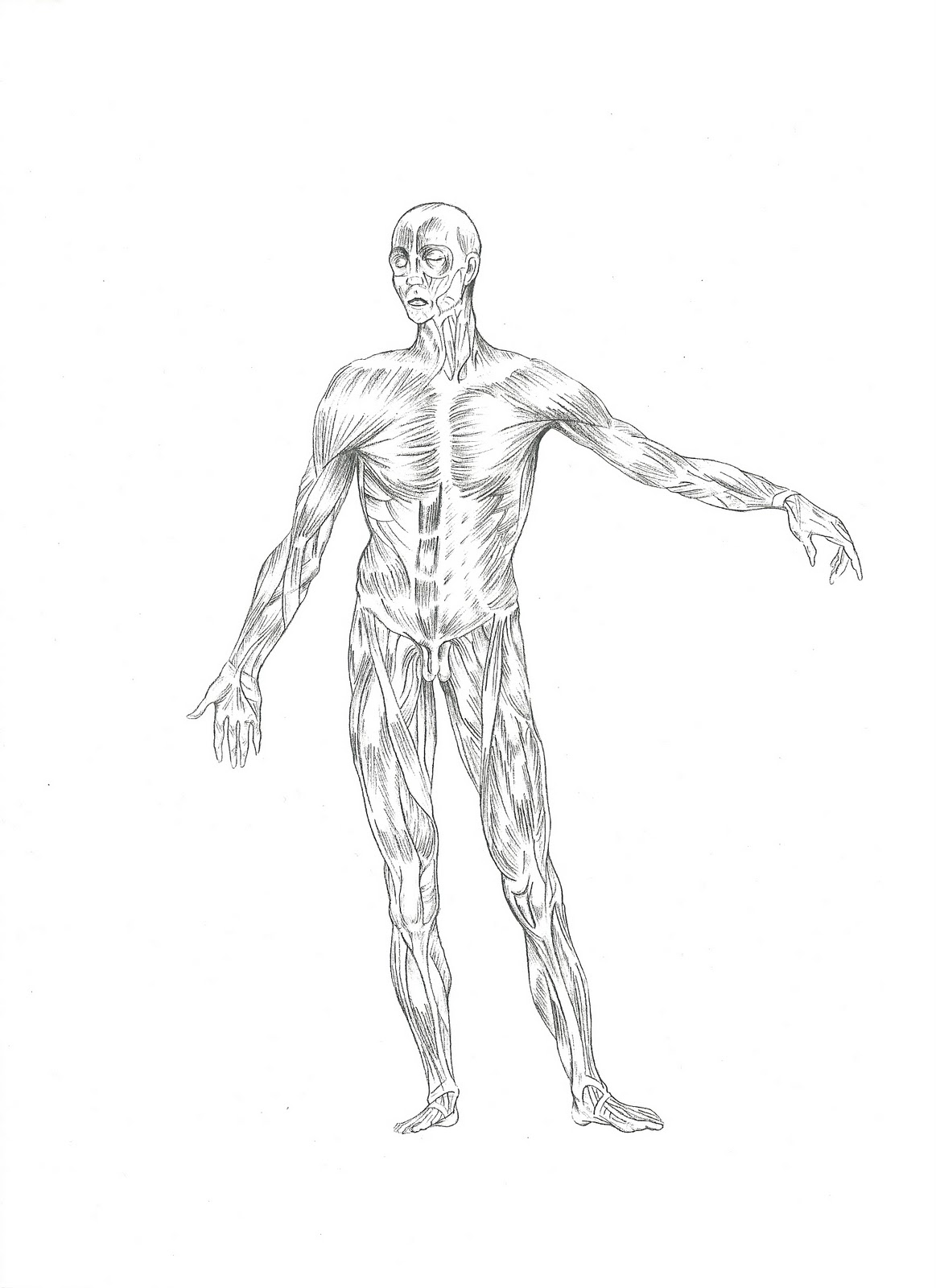 Dibujo de los musculos del cuerpo humano para colorear  Imagui
