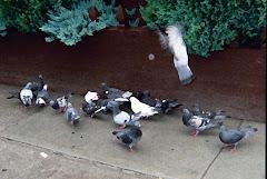 park slope pigeons