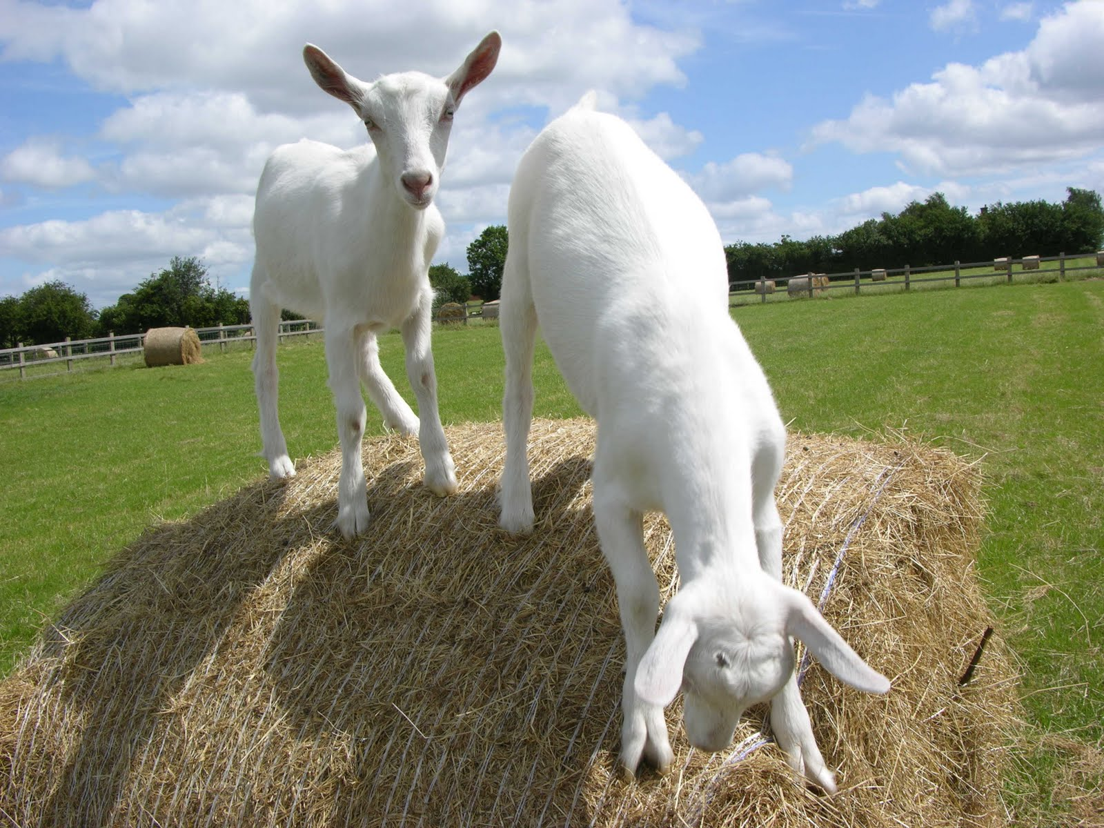 It's like Male goats peeing on their heads this anywhere