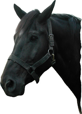 black horses face/head images photos pictures collections