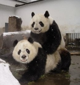 pandas mating pictures/ in china photos