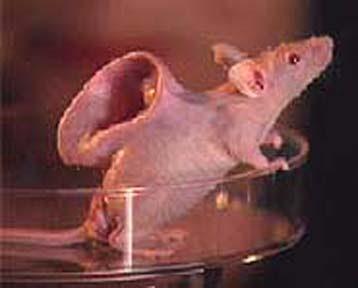 Rats with human ears/Rats of tobruk/Rats sinking ship