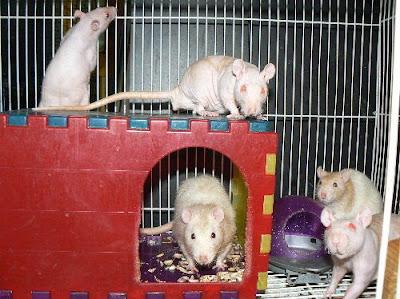 pet rats/Rats as pets pictures/video pics