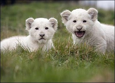 cute white lions cubs images pics gallery