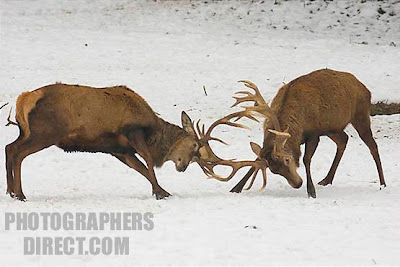photographs of Deers fighting in the snow  pictures gallery
