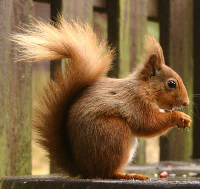 squirrel video pics squirrel nuts squirrel cartoon wallpapers