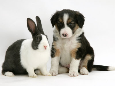 border collie puppy/border collie puppies