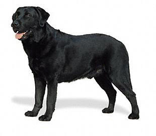 labrador retriever black puppy/puppies/pup pictures
