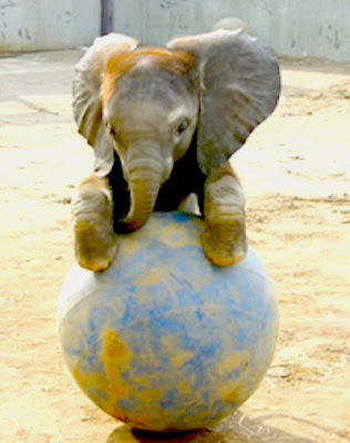 playing baby elephants pictures