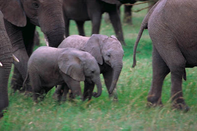 African baby Elephants wallpapers